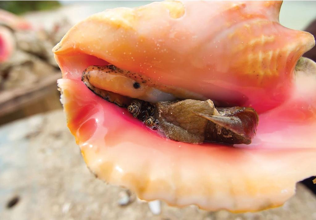 Queen-conch